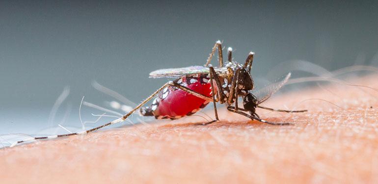 Un primer plano de un mosquito Aedes aegypti succionando sangre humana.