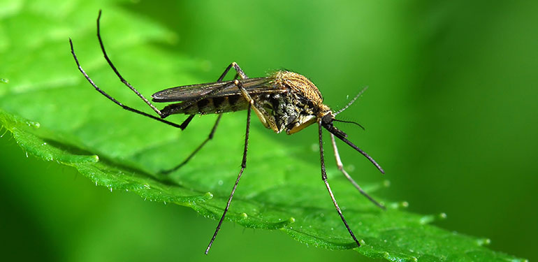 A close up an Aedes sollicitans mosquito sitting on a green leaf.