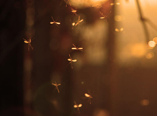 A swarm of mosquitoes at dusk.