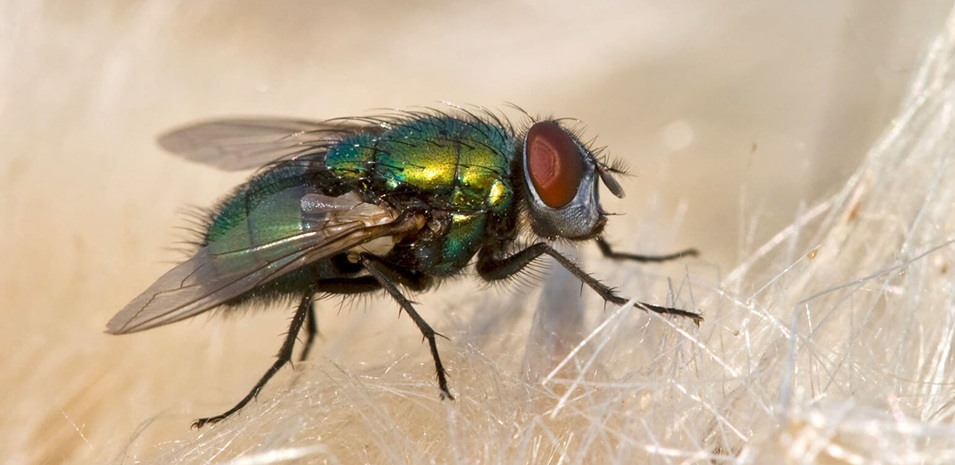 Primer plano de una mosca doméstica.
