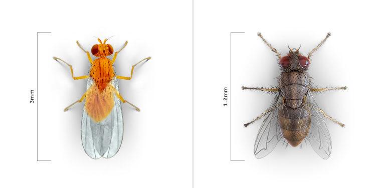Una vista paralela de una mosca doméstica y una mosca de la fruta, una junto a la otra.