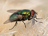 A close-up of a house fly.