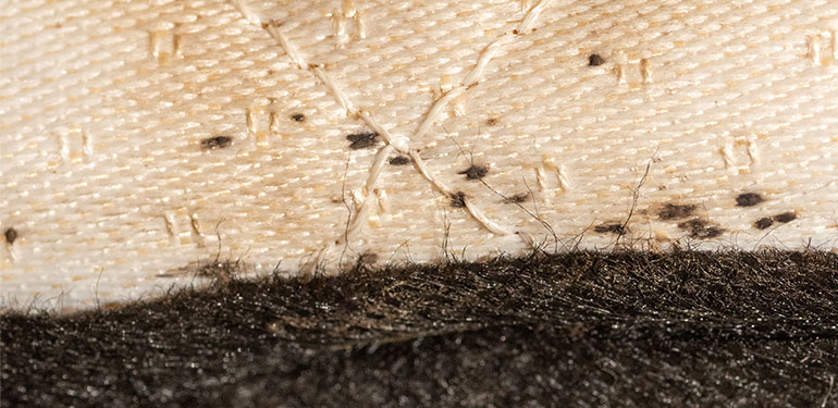 A close-up of dark spots, which are dried bed bug fecal matter, within the seam of a bed mattress.