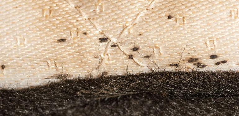 Un primer plano de puntos oscuros, que son materia fecal seca de las chinches de cama, dentro de la costura de un colchón.