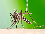 A close up of an Aedes aegypti mosquito sucking blood on human skin.