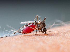 Primer plano de un mosquito succionando sangre humana.