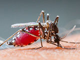 Close up a Mosquito sucking human blood.