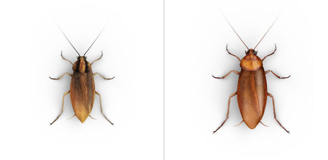 A side-by-side comparison of a top view close-up of a small and large roach.