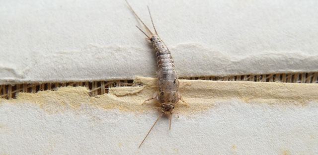 A close up of a silverfish sitting on wood.