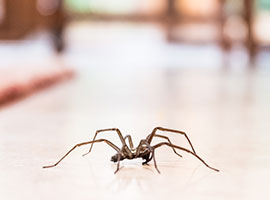 A common house spider on the floor in a home.