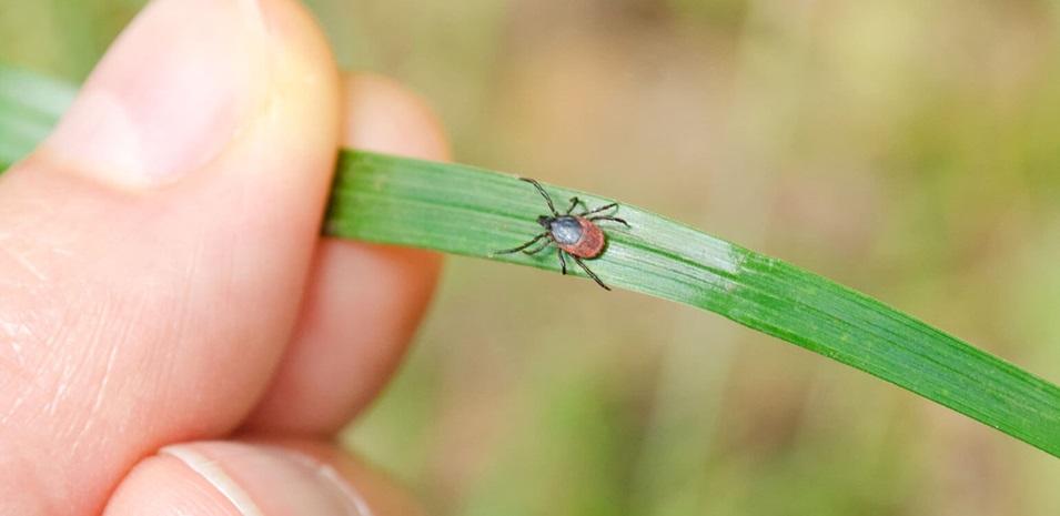 Una garrapata adulta caminando sobre una brizna de hierba hacia una mano humana.