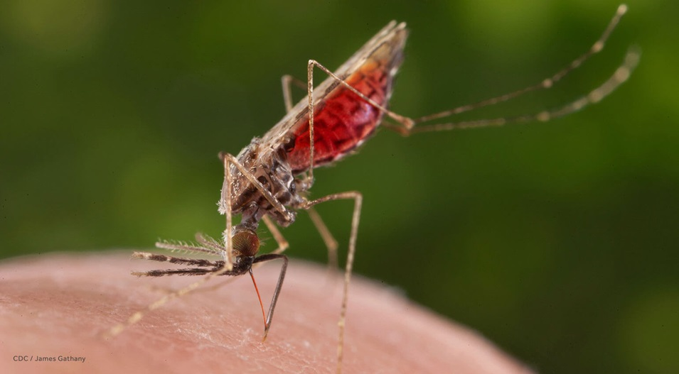 Un mosquito Anopheles merus hembra succionando sangre de un ser humano.