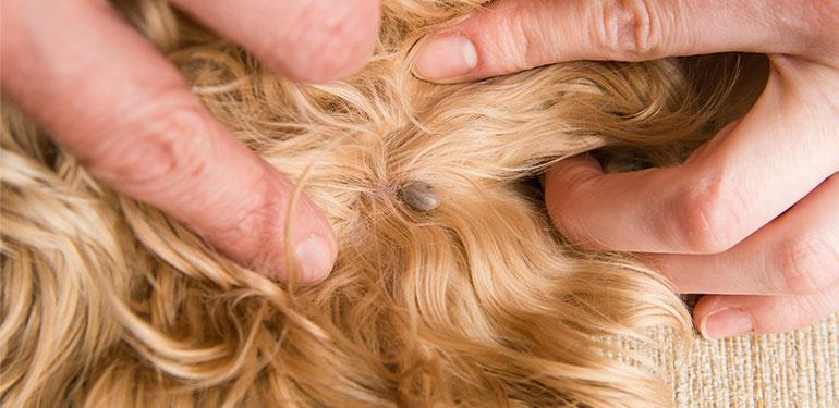 Primer plano del dueño de un perro abriendo el pelo del animal para mostrar una pulga incrustada.