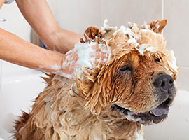 Close-up of a woman giving their dog a shampoo.