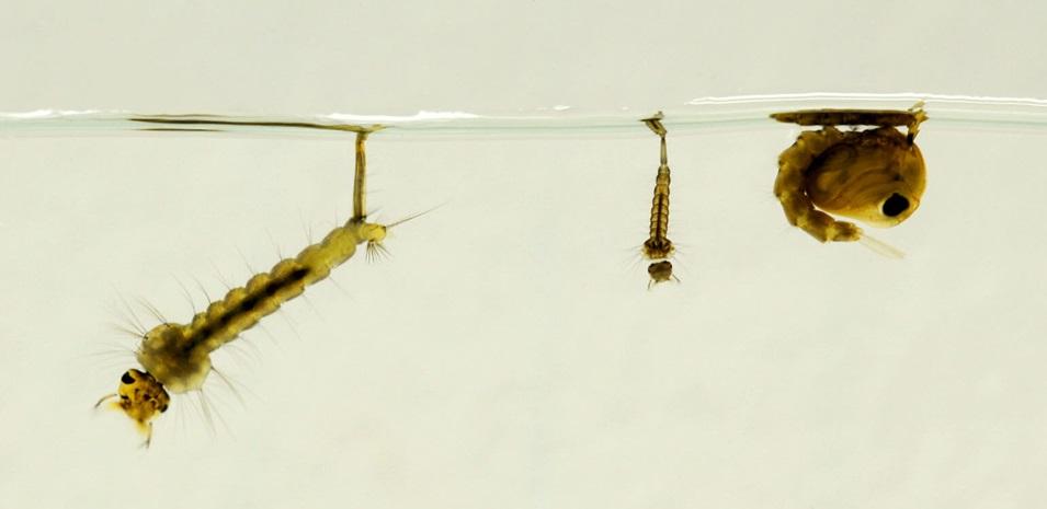 Primer plano de larva y pupa de mosquito.