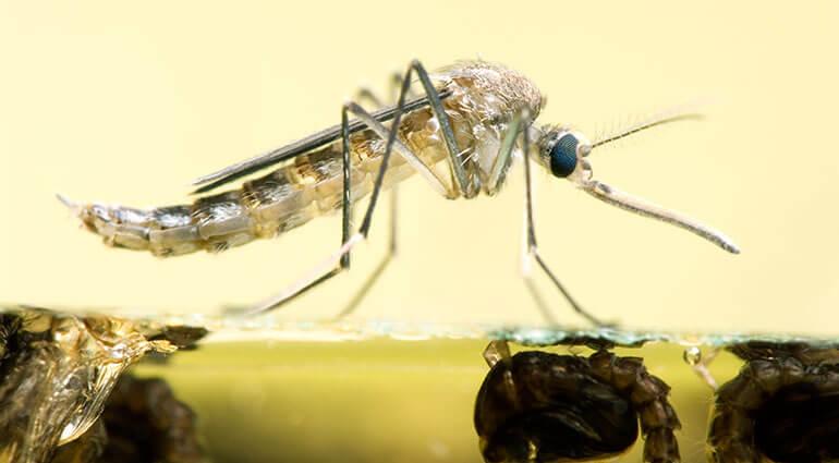 Un primer plano de un mosquito adulto descansando sobre el agua.