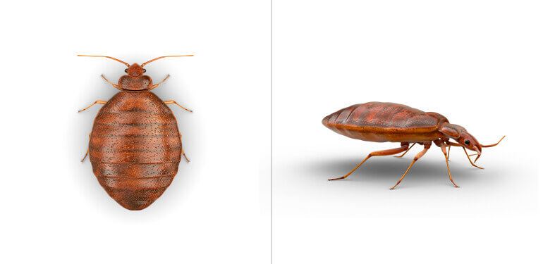 A top view and side view of a bed bug.