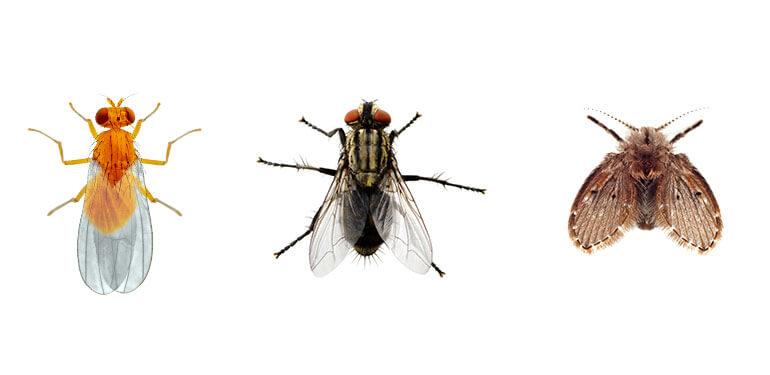 Imágenes comparativas de una mosca de la fruta, una mosca doméstica y una mosca de desagüe.