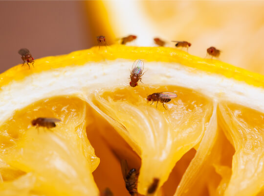 Many flies on orange slice.