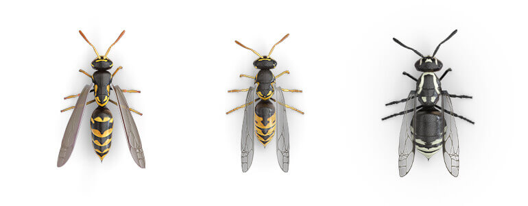 Comparative images of a Paper wasp, a Yellow jacket and a Hornet.
