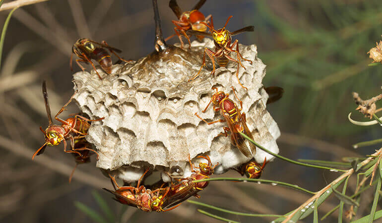 Paper wasps on a hive hanging from a tree branch.