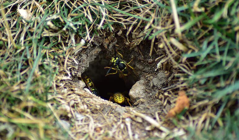 Avispas amarillas dejando un nido adentro de un hueco en el suelo.