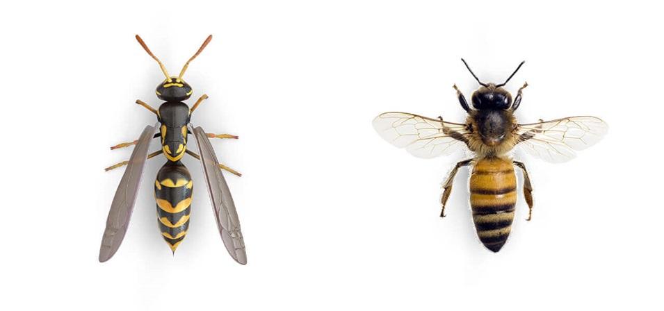 Imágenes comparativas de una Avispa y una Abeja.