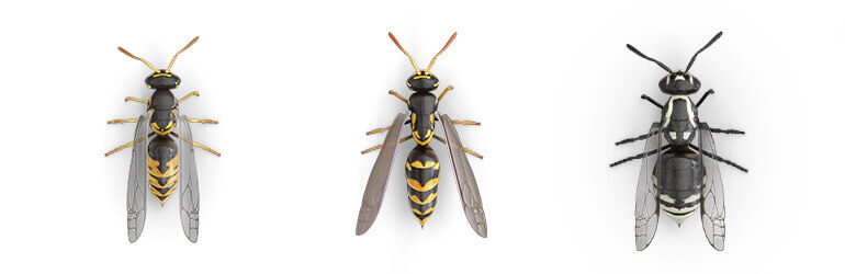 Comparative images of a Yellow jacket, a Paper wasp and a Hornet.