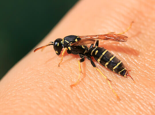 A close-up image of a wasp on a person's hand.