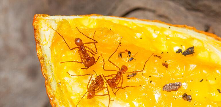 Ants crawling over a slice of orange.