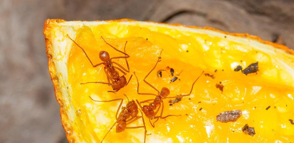 Hormigas caminando sobre una rodaja de naranja.
