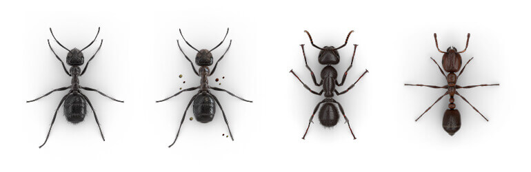 Comparative images of a Nuisance ant, Mound-building ant, Carpenter ant and Fire ant.