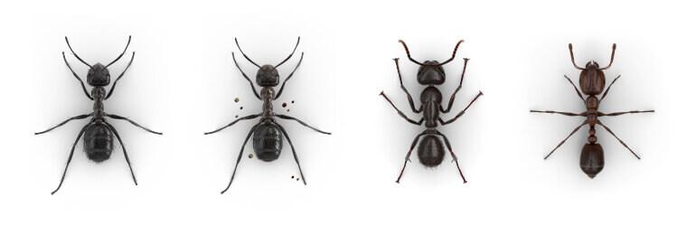 Imágenes comparativas de una Hormiga molesta, una Hormiga constructora de montículos, una Hormiga carpintera y una Hormiga roja.