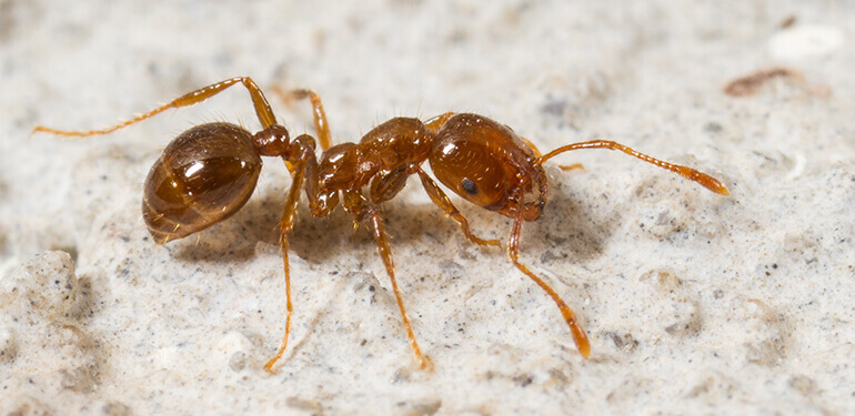 A fire ant crawling.