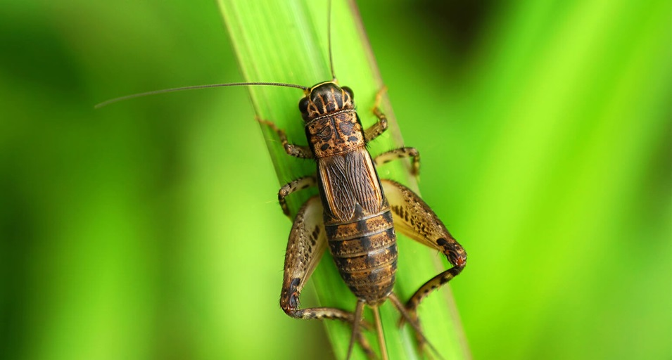 A cricket outdoors, perched on some green foliage.
