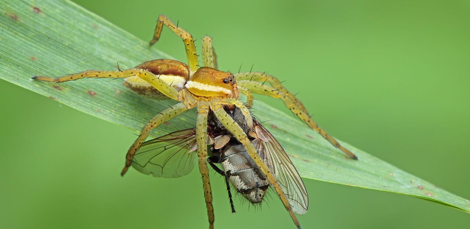 A close up of a fruit fly caught by a spider on a green leaf.