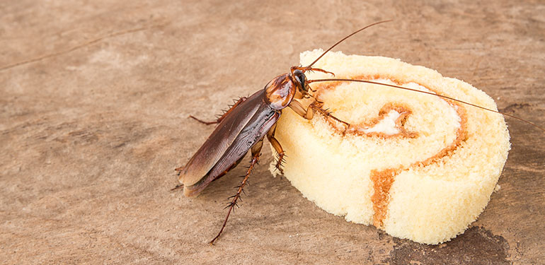 A cockroach feeding on a piece of cake.