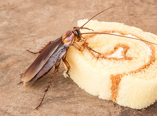 A cockroach feeding on a piece of cake.