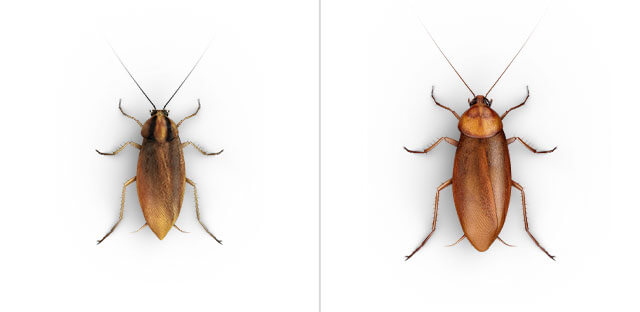 A side-by-side view of a German Cockroach and an American Cockroach.