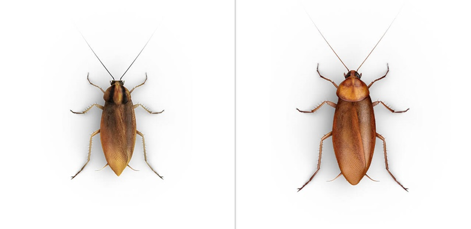 Una vista paralela de una Cucaracha Alemana y una Cucaracha Americana, una junto a la otra.