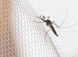 Un mosquito posado en un mosquitero blanco.