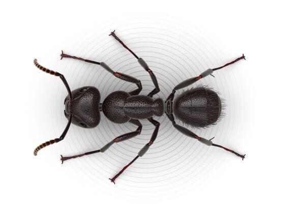 Ilustración superior de una hormiga carpintera.