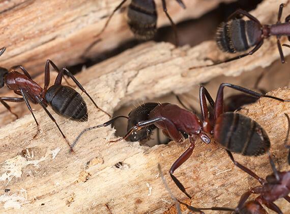 Tres hormigas carpinteras caminando por un pedazo de madera.