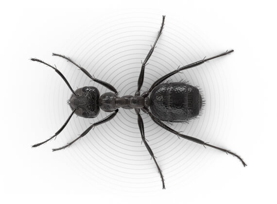 Ilustración superior de una hormiga molesta.