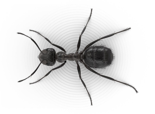 Top-view illustration of a nuisance ant.