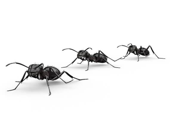 Ilustración lateral de varias hormigas molestas.