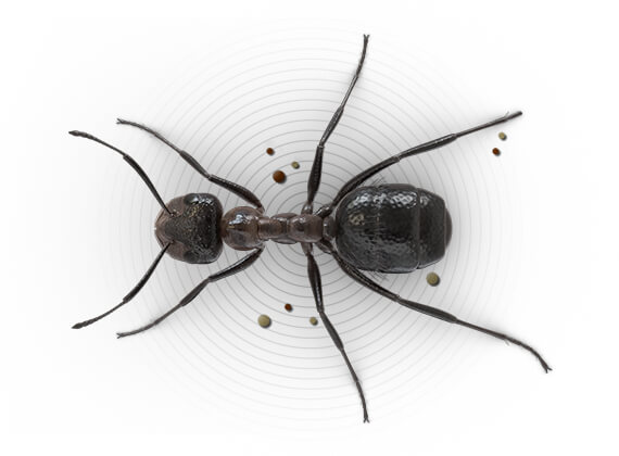 Top-view illustration of an outdoor mound-building ant.