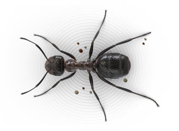 Ilustración superior de una hormiga constructora de montículos.