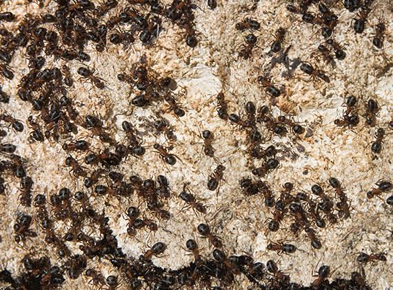 Muchas hormigas constructoras de montículos caminando al aire libre.