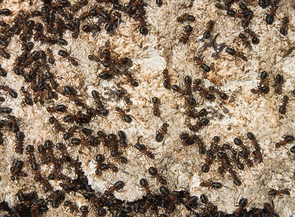 Many outdoor mound-building ants crawling around outdoors.